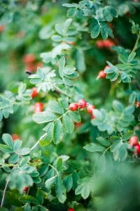Wild rose bush with ripe rose hips.