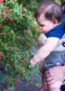 Baby exploring a wild rose bush.
