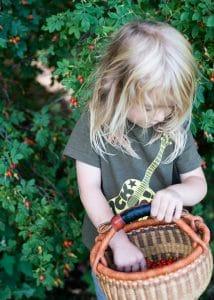 Boy picking wild rose hips.