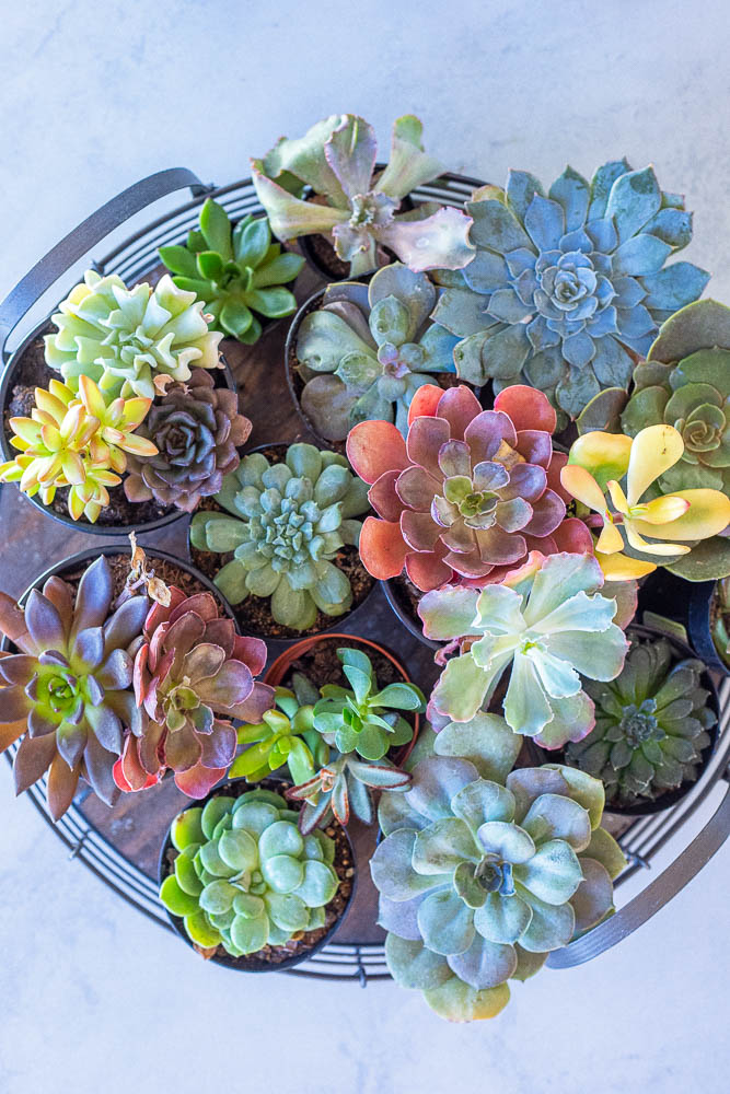 close up of succulents used to make the succulent wreath